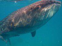 オスロブの行き方は?お得なジンベイザメのシュノーケルツアーの内容や注意点とは?