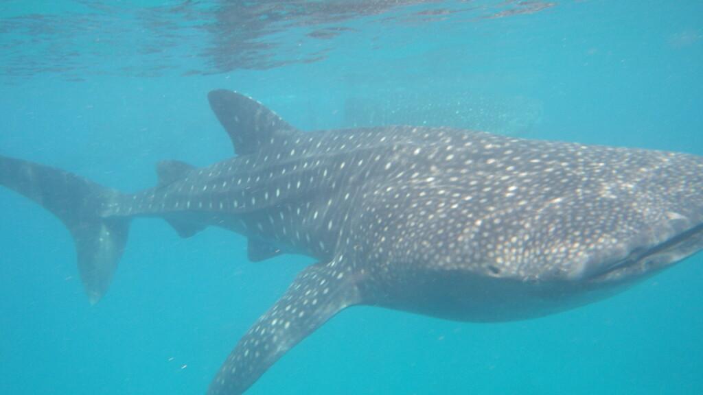 セブ島でジンベイザメに会えるオスロブの行き方や時間の注意点