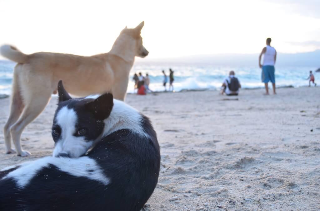 フィリピン アポ島 犬
