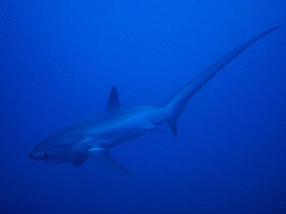 マラパスクア島はマンタ、ジンベイザメ、ニタリ(オナガザメ)が見れるダイビングスポット!