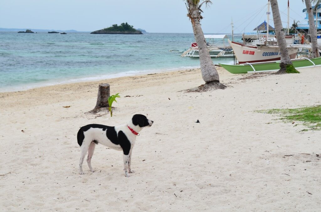 セブ島ではそこらじゅうにいるのら犬もマラパスア島の浜辺では立派な観光ガイド