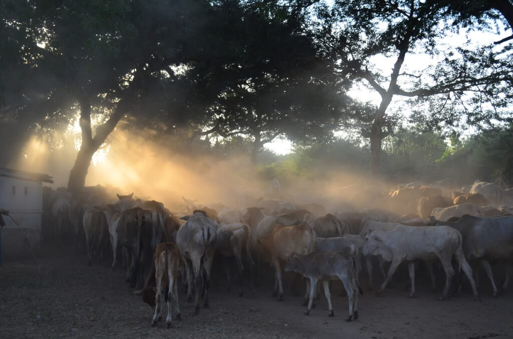 バガン遺跡の観光で牛の群れは絶景です