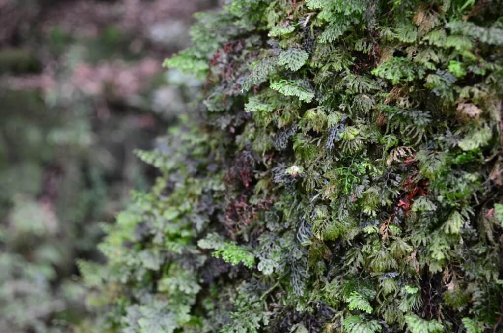 白谷雲水峡 弥生杉コース 渓谷 苔