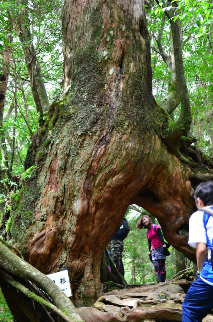 白谷雲水峡 太鼓岩コース もののけ姫 くぐり杉