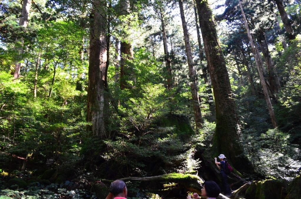 見逃し注意!ウィルソン杉の中から空を見上げるとハート型になる空洞がある