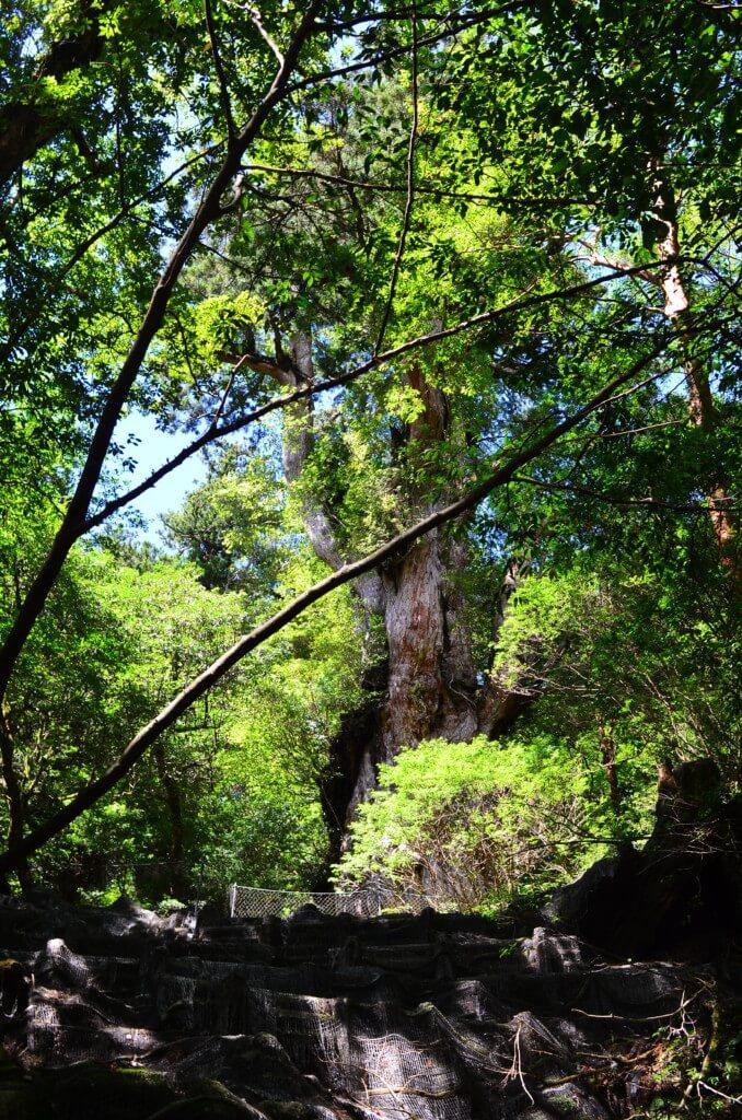 屋久島の縄文杉トレッキング開始から2時間かけて到達した縄文杉