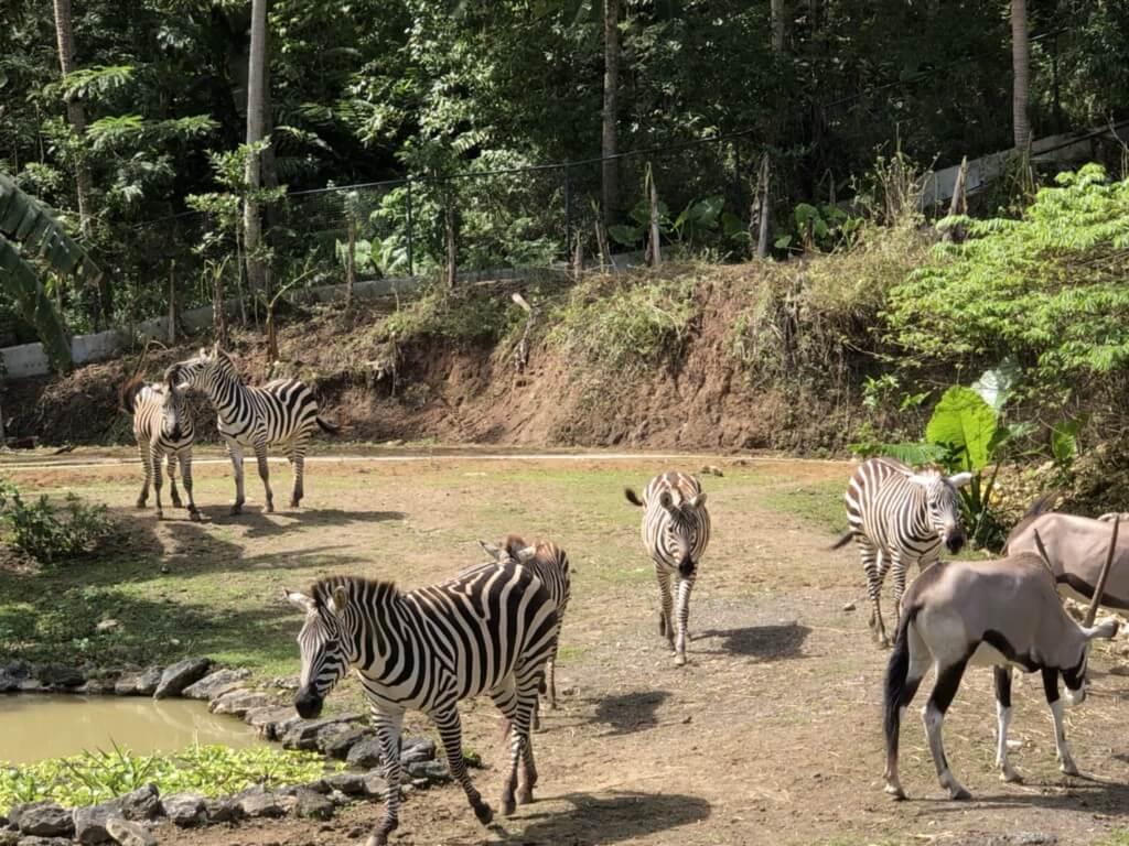 アフリカン サバンナ(African Savanna)エリアはトラムで草食動物たちと